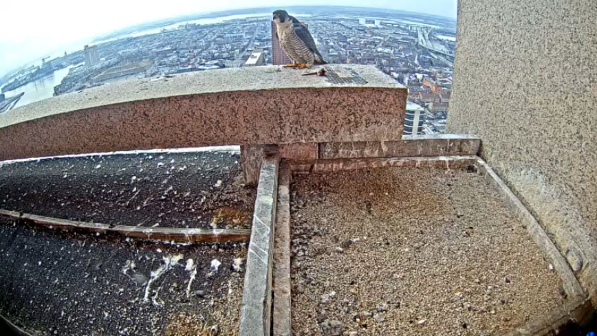 Nonprofit gives wings to falcon webcam in Baltimore (Photos)