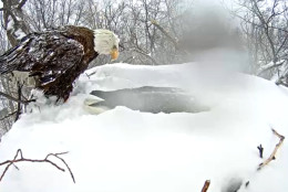 The eagle's mate has returned to the nest. (Image courtesy Pennsylvania Game Commission)
