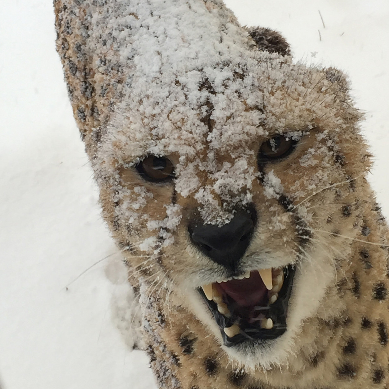This National Zoo cheetah shares its feelings about the snow. (Courtesy National Zoo)