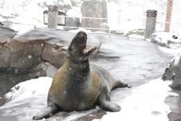 This seal had a great time in the snow on March 5. (Chelsea Grubb, Smithsonian's National Zoo)