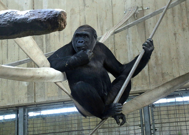 National Zoo home to new western lowland gorilla