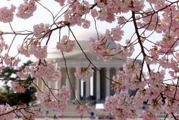Blossoming Cherry trees frame the Jefferson Memorial in this Associated Press file photo. Peak bloom — the optimal period to see the the trees — is when 70 percent or more of the cherry blossoms are open.  (AP Photo/Ron Edmonds)