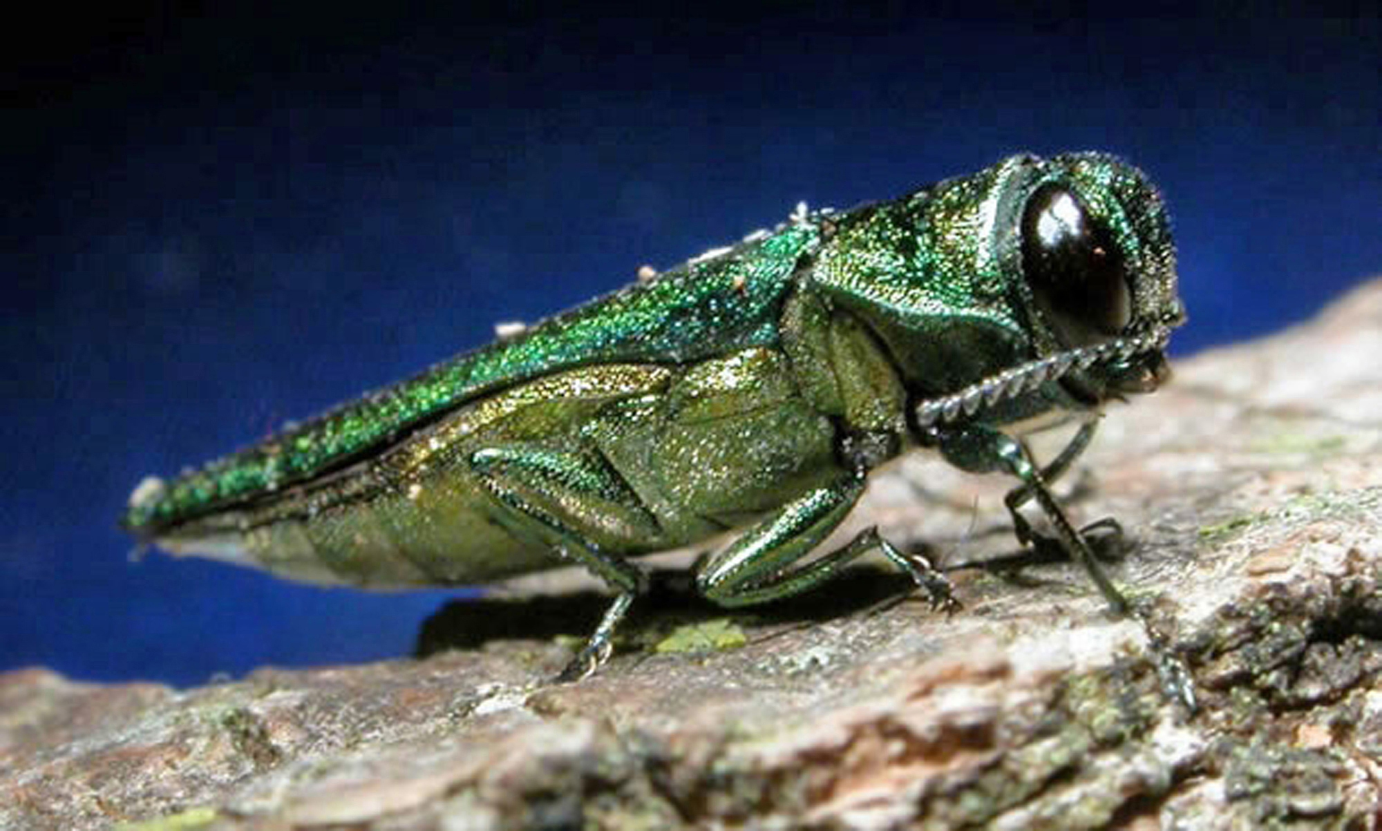 Fight against Emerald Ash Borer spreads