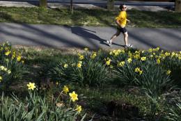A man runs past blooming daffodils along Rock Creek Park in Washington, on Tuesday, March 13, 2012. (AP Photo/Jacquelyn Martin)