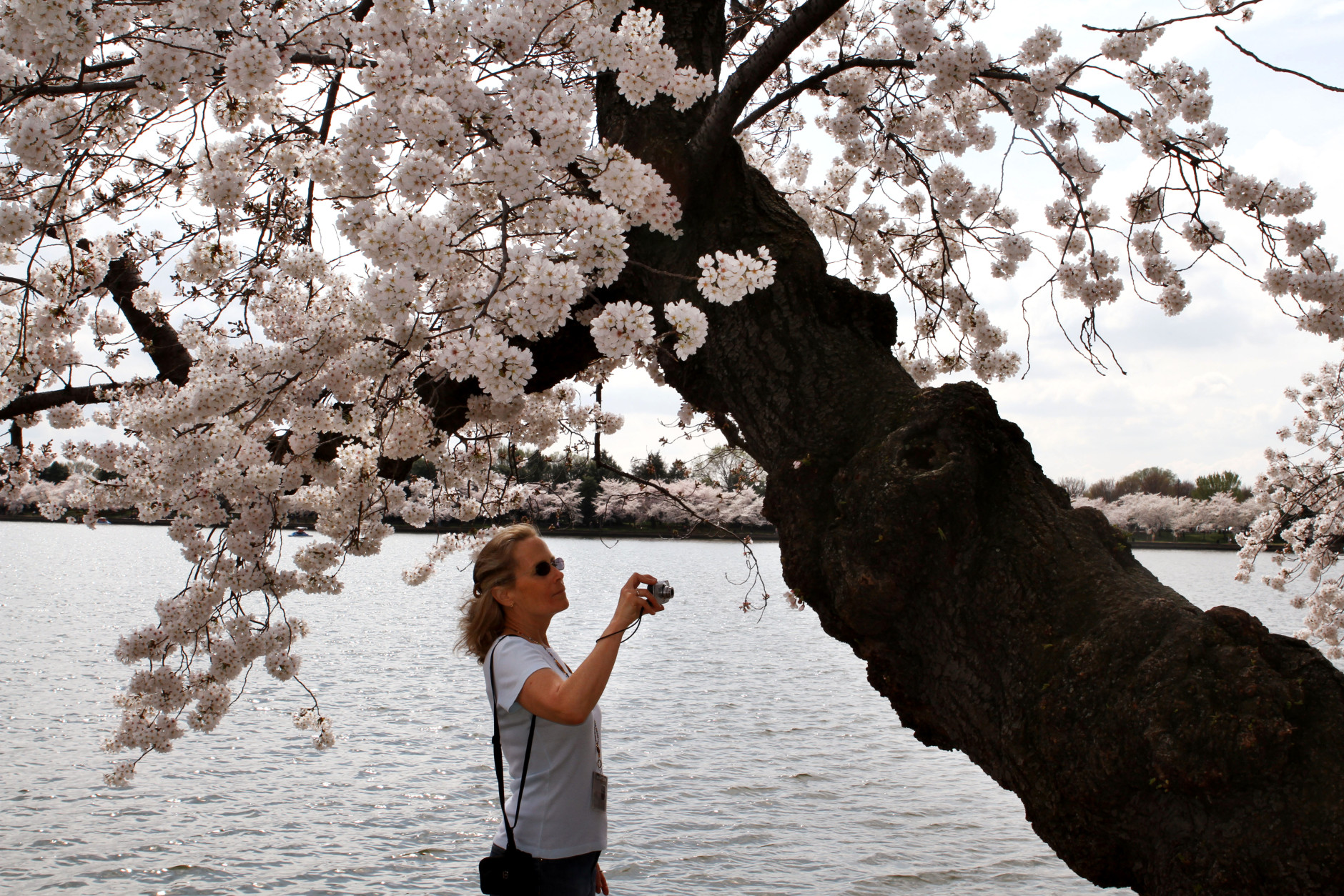 In this photo taken, Monday, March 19, 2012, a woman takes pictures of the oldest cherry blossom trees along the tidal basin in Washington. The pink and white cherry blossoms that color the U.S. capital and draw a million visitors each spring began with trees that have survived for a century. It was 100 years ago this month when first lady Helen Taft and the Viscountess Chinda, wife of the Japanese Ambassador, planted two Yoshino cherry trees on the bank of Washington's Tidal Basin. They were the first of 3,000 planted as part of a gift from the city of Tokyo as a symbol of friendship. The original pair still stands, along with about 100 of the original trees transported from Japan. (AP Photo/Jacquelyn Martin)