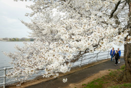 Erin Leigh of Washington, D.C., center, and Diane Rusch, left, and B.K., right, both visiting from Pittsburgh, Pa. walks past cherry blossoms trees in Washington, Tuesday, April 7, 2015. Officials are calling for a peak bloom period from April 11-14th. (AP Photo/Andrew Harnik)