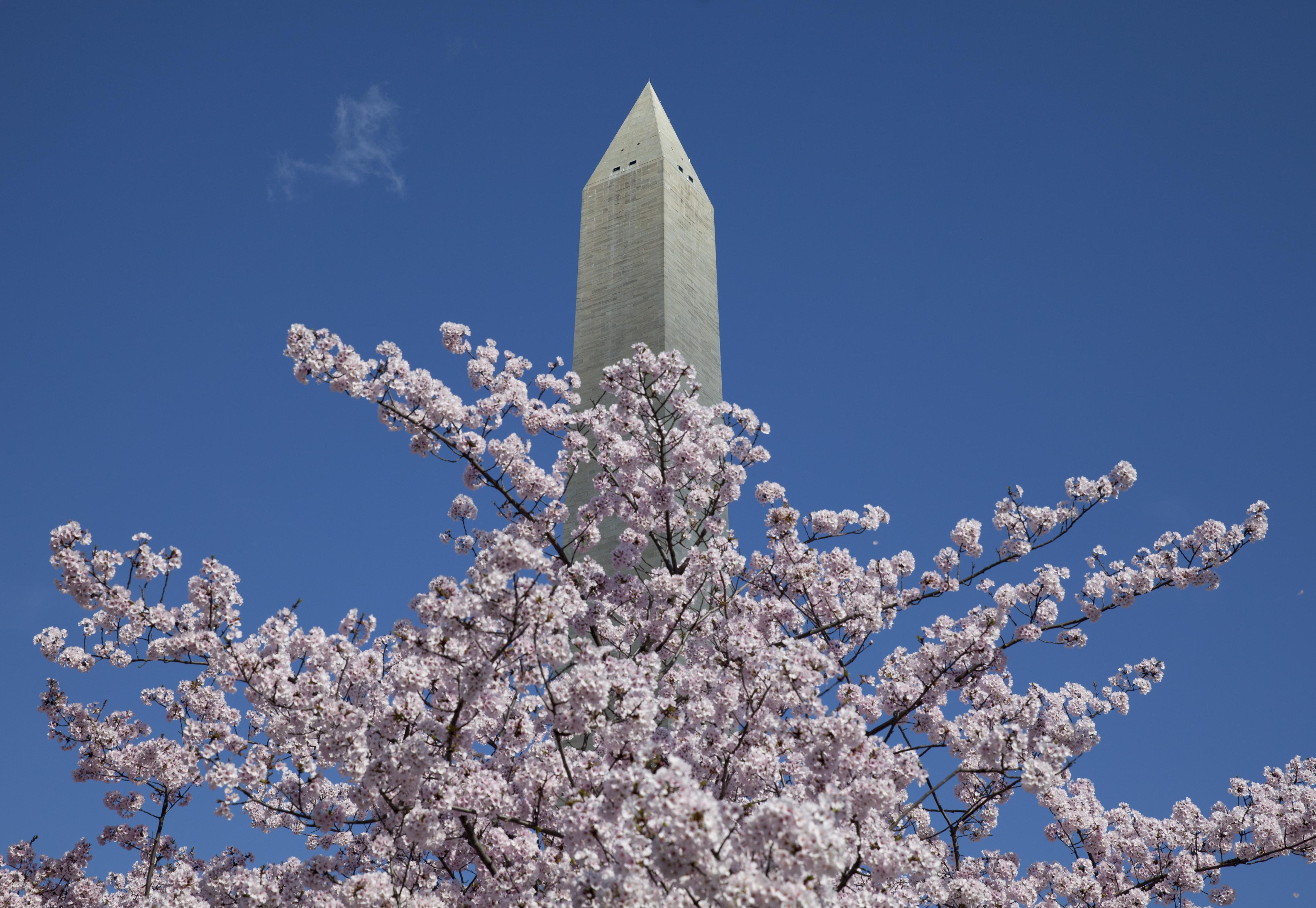 Plan ahead for Cherry Blossom Festival parking