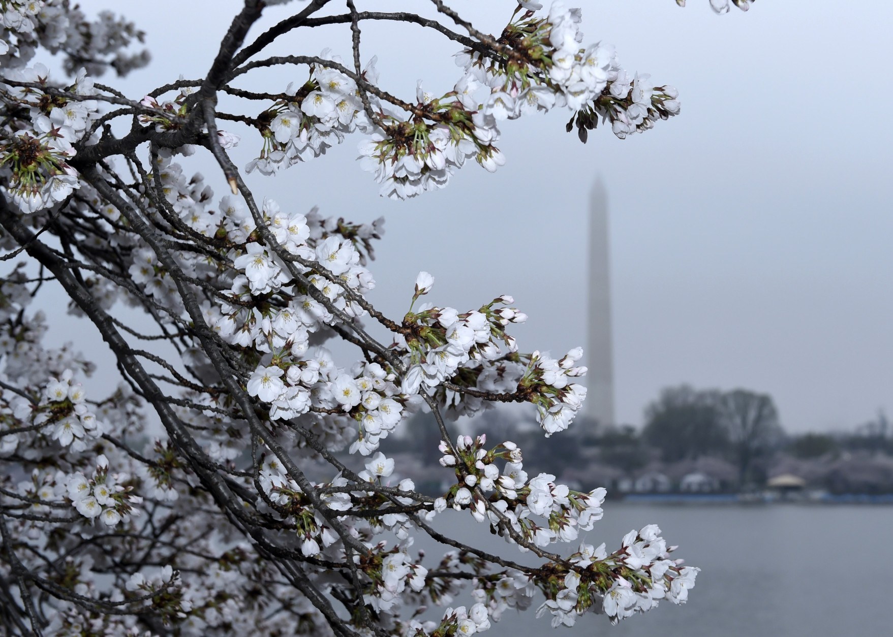 Cherry Blossoms are in bloom around the Tidal Basin across from the Washington Monument in Washington, Thursday, April 9, 2015. Washington's famous cherry blossoms are set to hit peak bloom this weekend as the National Cherry Blossom Festival draws big crowds for its annual parade and Japanese street festival. (AP Photo/Susan Walsh)