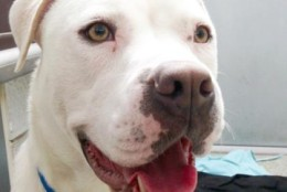 Percy Ann is an American bulldog beauty at the Washington Animal Rescue League. She is looking for her forever home. (Courtesy WARL)