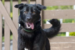 This black beauty is smart and energetic, and already knows some basic commands.  (Courtesy WARL)
