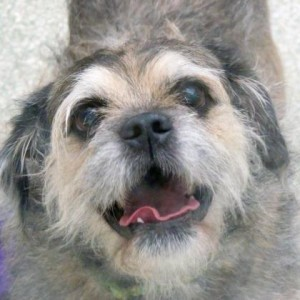 Scruffy is a Brussells Griffon mix available for adoption at WARL.