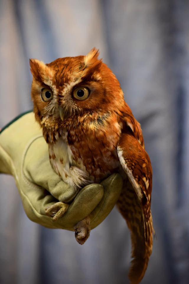 Owl found injured at National Zoo on the mend