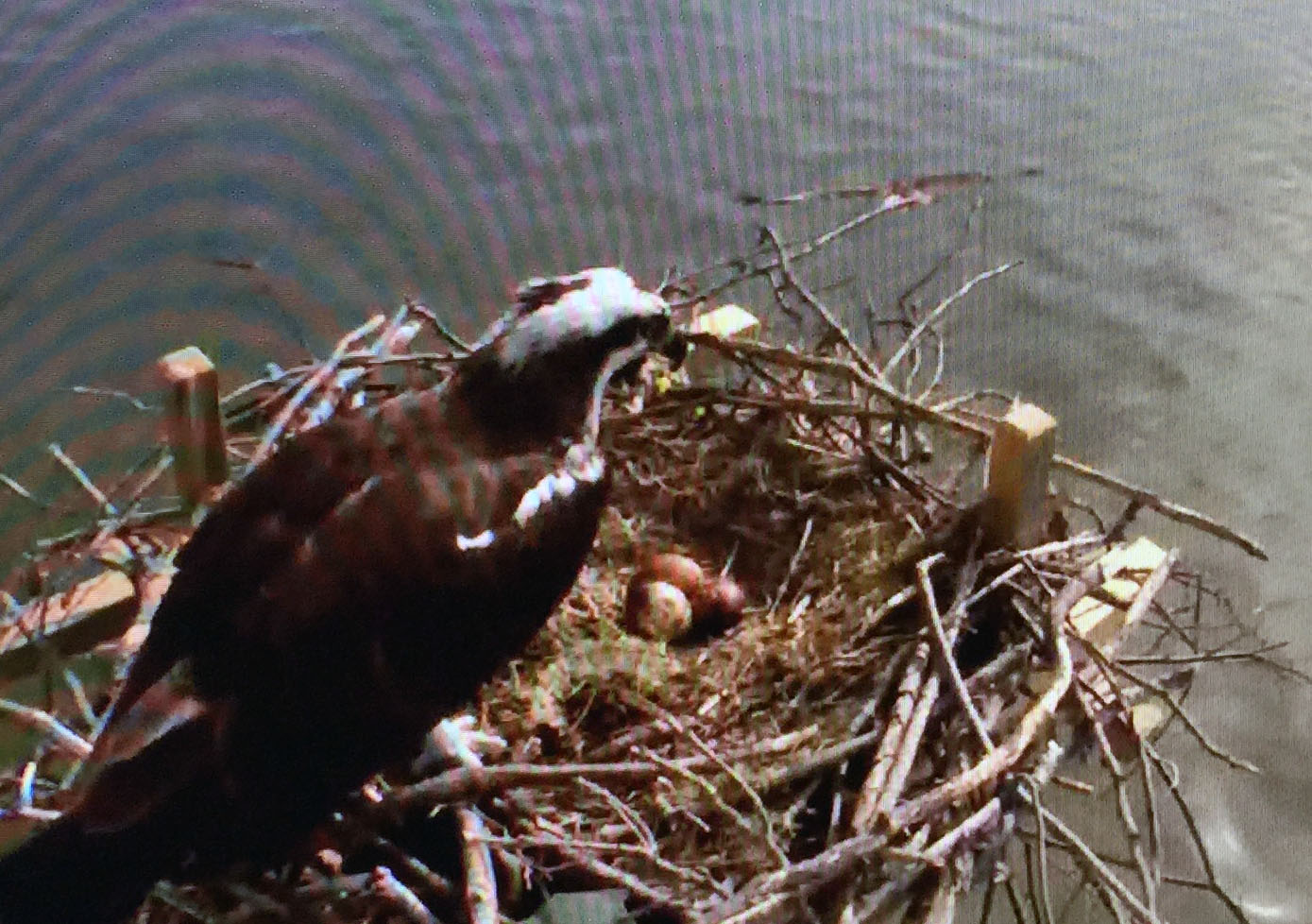 Chesapeake Bay's health reflected in live cams as birds of prey bounce back
