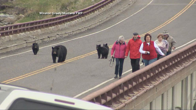Black bears chase tourists in yellowstone national park wtop for Montana fish wildlife and parks drawing results
