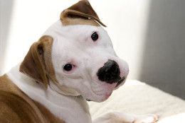 This 3-year-old American bulldog mix found himself at the Washington Animal Rescue League because of a change in his human companion's lifestyle.