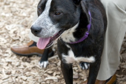 Jackie Boy is a smart, active and playful guy who loves to run and play. (Courtesy WARL)