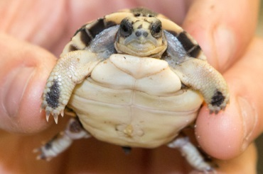 A rare spider tortoise hatches at the National Zoo