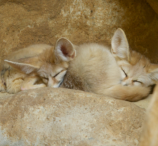 Is love in the air for the National Zoo's fennec foxes?