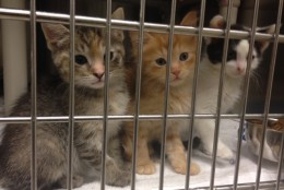 Area shelters fill up this time of year with meows and kittens. (Photos provided by Katherine Zenzano,  MCASAC)