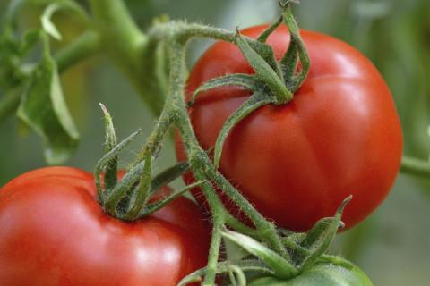 A tomato planting primer
