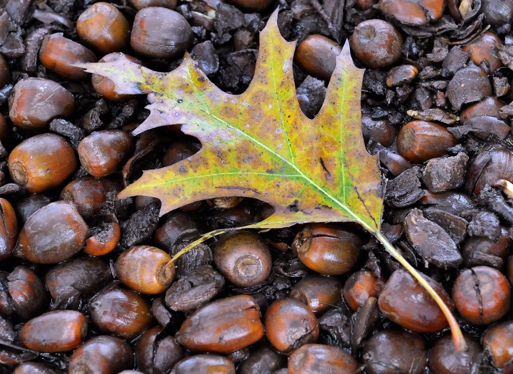 garden plot why acorns can lead to unwanted weeds and ticks wtop