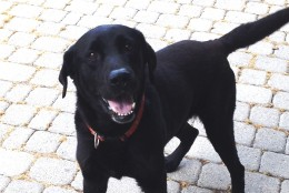 King is a 6-year-old Labrador Retriever mix and is available for adoption at Washington Animal Rescue League. (Courtesy WARL)