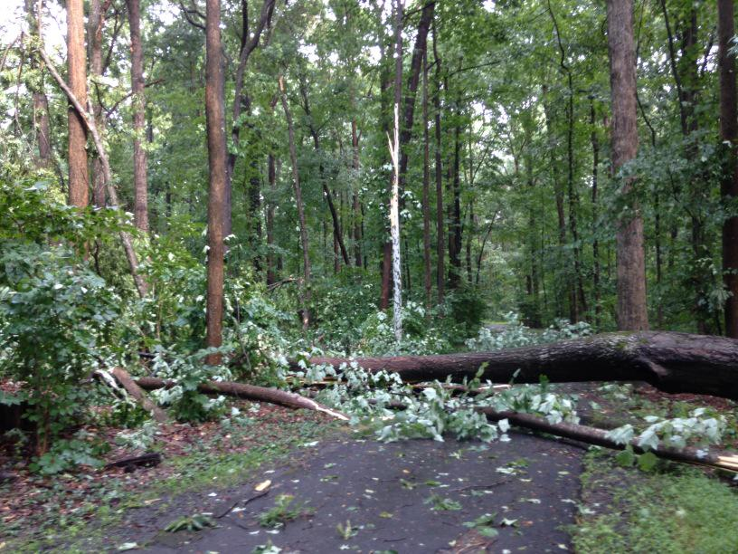 A sycamore was downed in southern Reston. (WTOP/Dave Dildine)