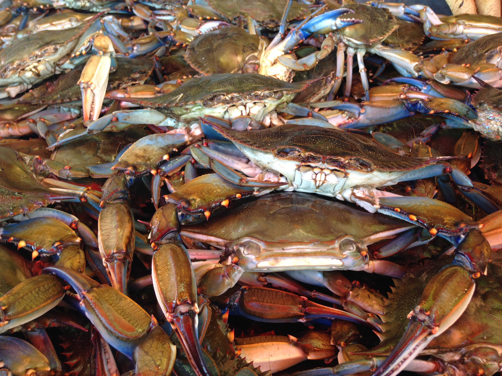 Blue crab population on the rise in Chesapeake Bay