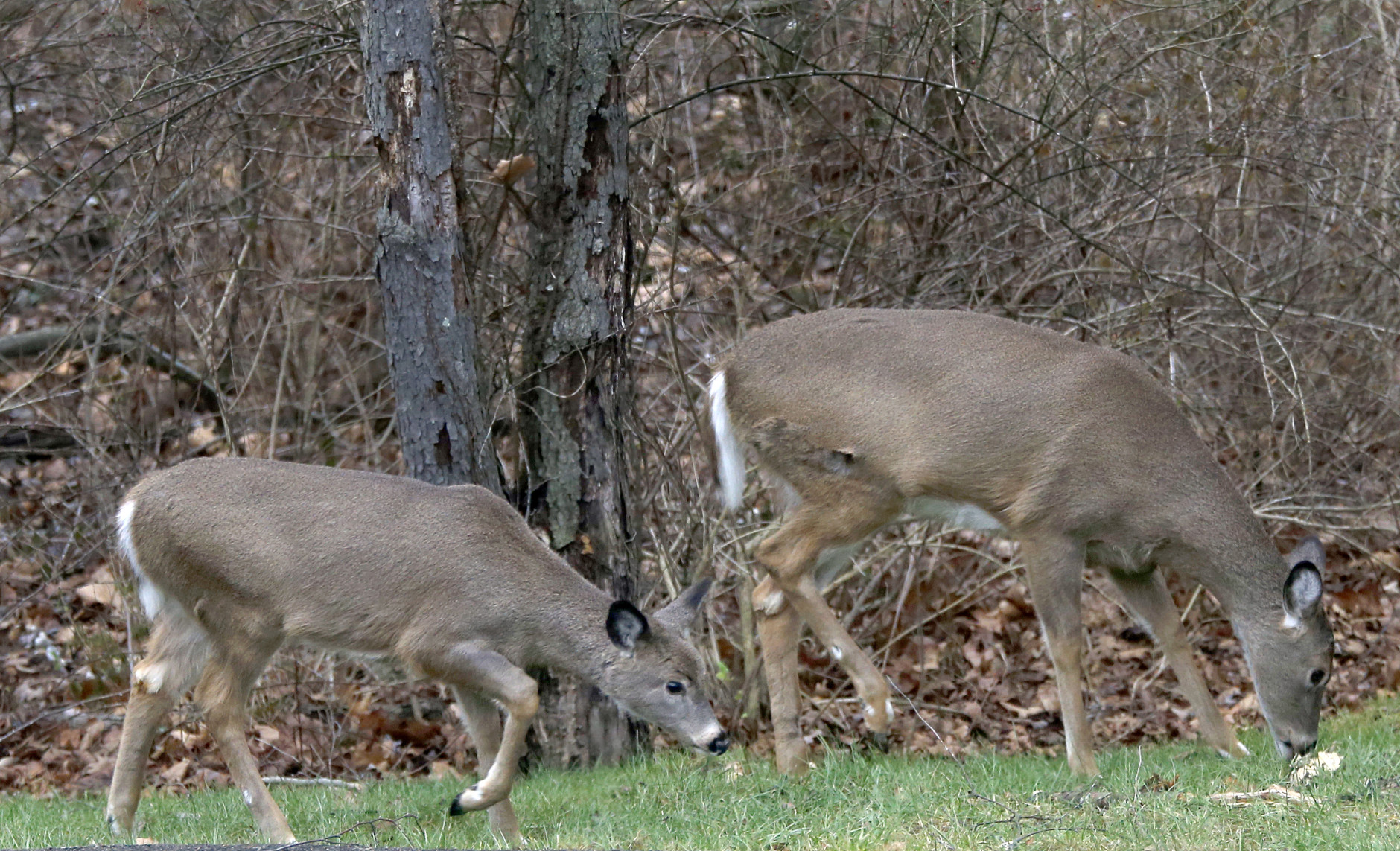 Malaria parasites in white-tailed deer unlikely to affect humans