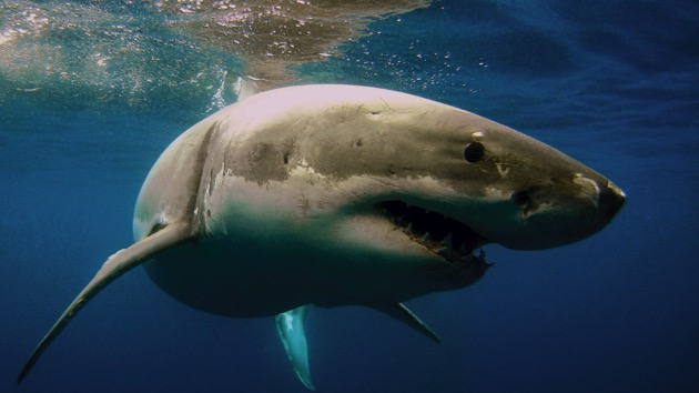 Some see shark fishing as possible factor in north for Shark fishing nc