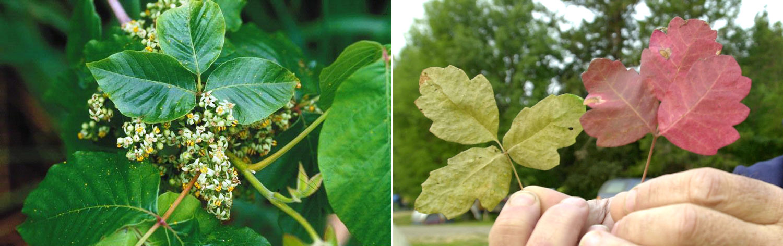 Climate change producing more potent, poisonous plants