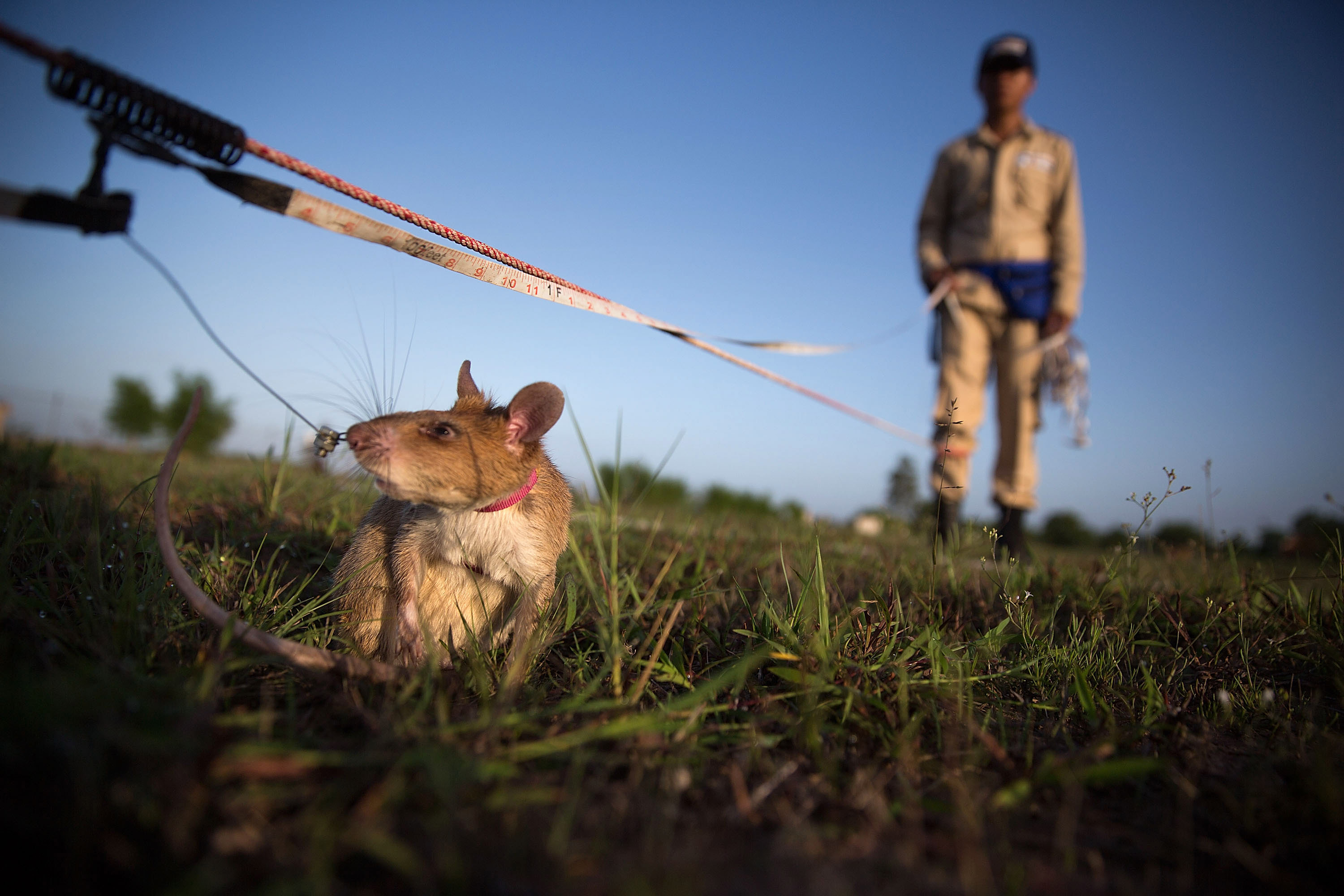 'HeroRATs' detect mines, save lives