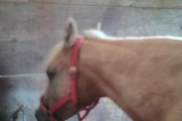 A local rescue wants to find a new home for two horses that were left behind by a couple found dead in the Potomac River. (Photo Courtesy of Karen Edens at Two Hearts Mini and Draft Rescue)