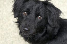 Saturn is an 18-month-old retriever mix available for adoption from the Washington Animal Rescue League. (Courtesy WARL)