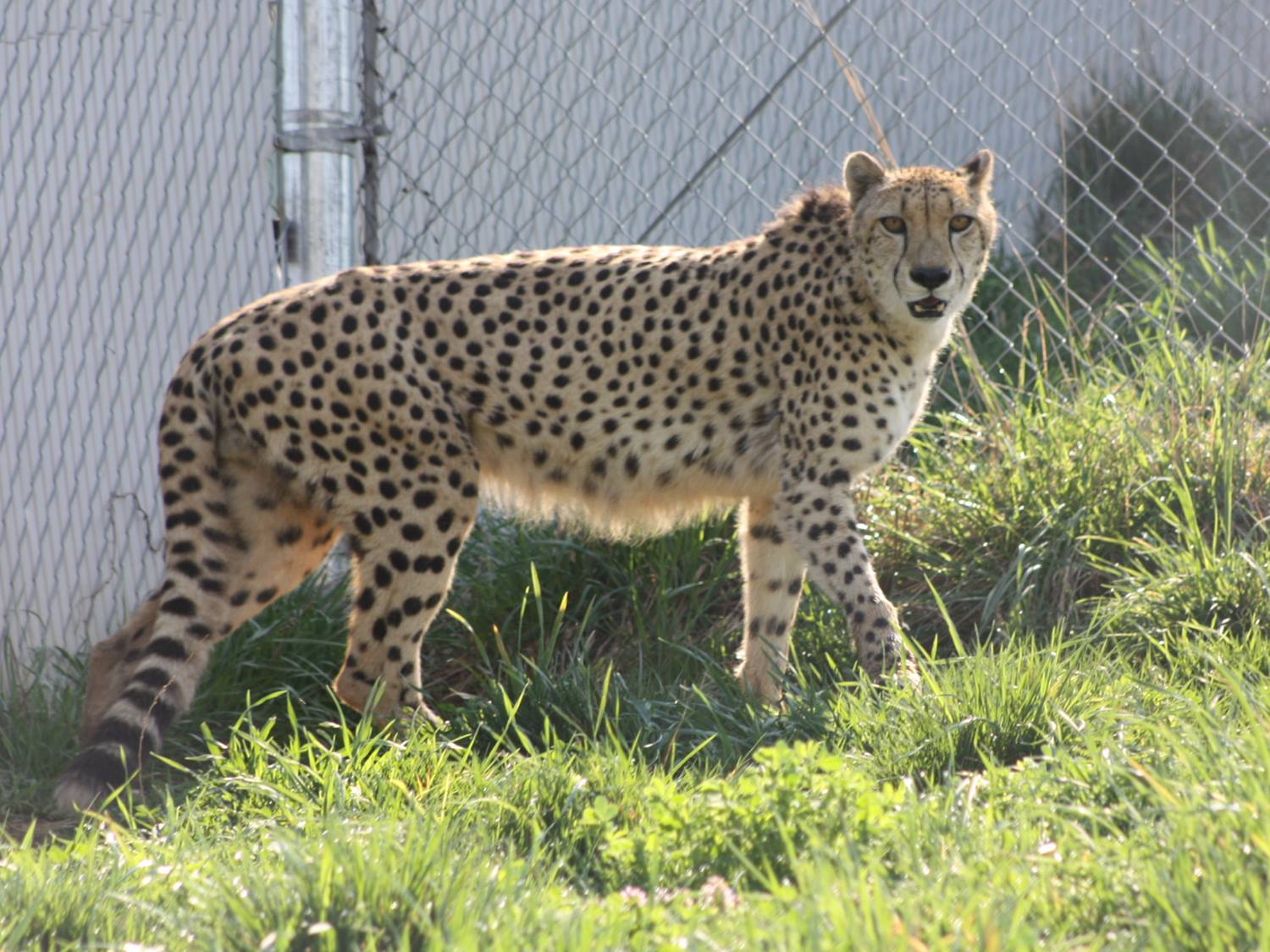 National Zoo says 12-year-old cheetah has died