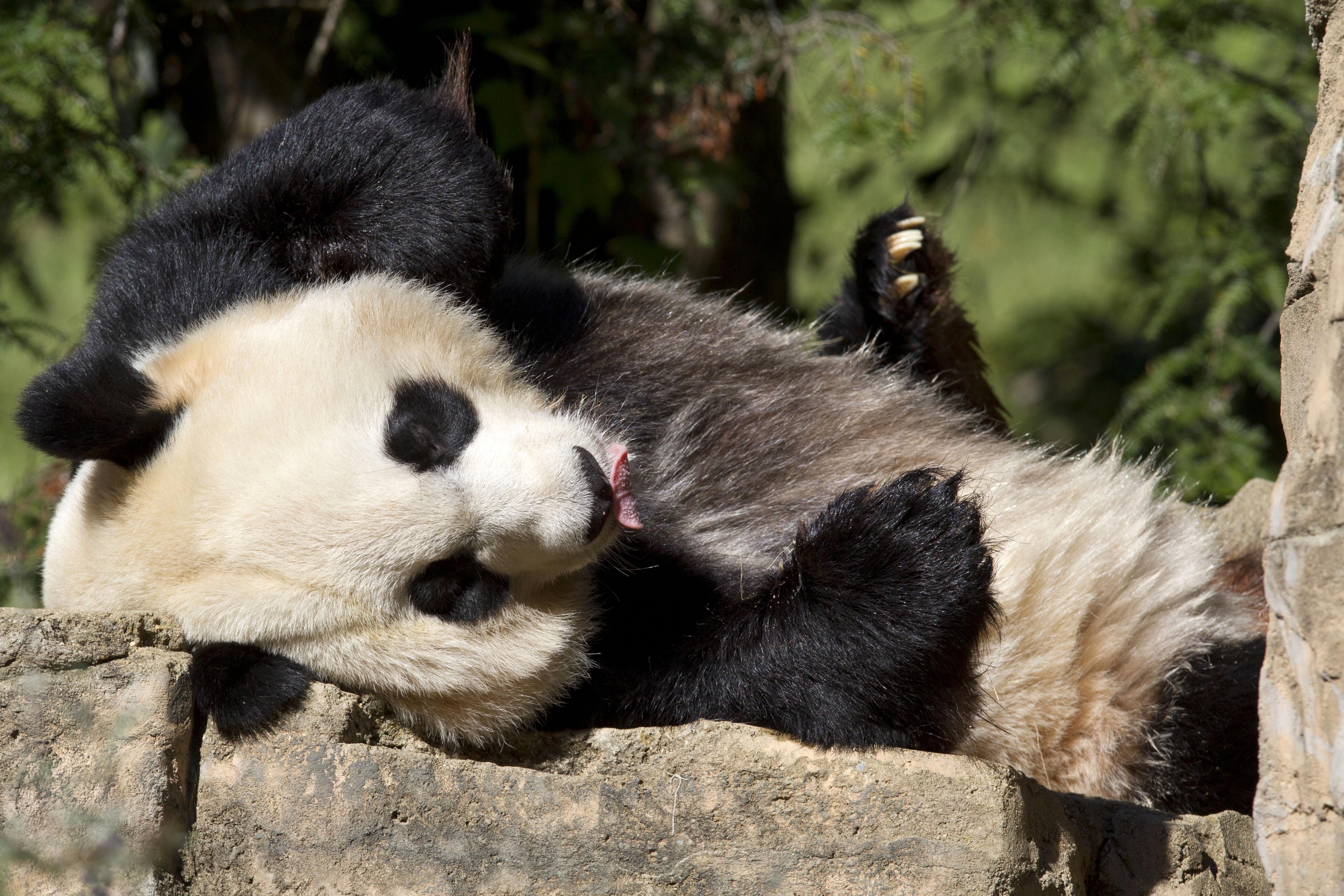 Giant panda Mei Xiang celebrates 17th birthday at National Zoo