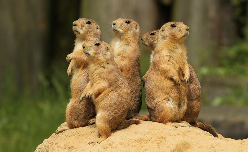 Maryland Zoo's prairie dog pups ready to greet public this week