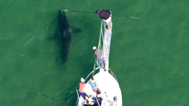 Year's first great white shark tagged in Boston area