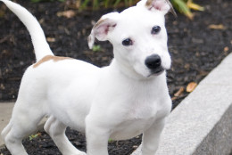 Dime is a 4-month-old puppy, available for adoption at the Washington Animal Rescue League. (Courtesy WARL)