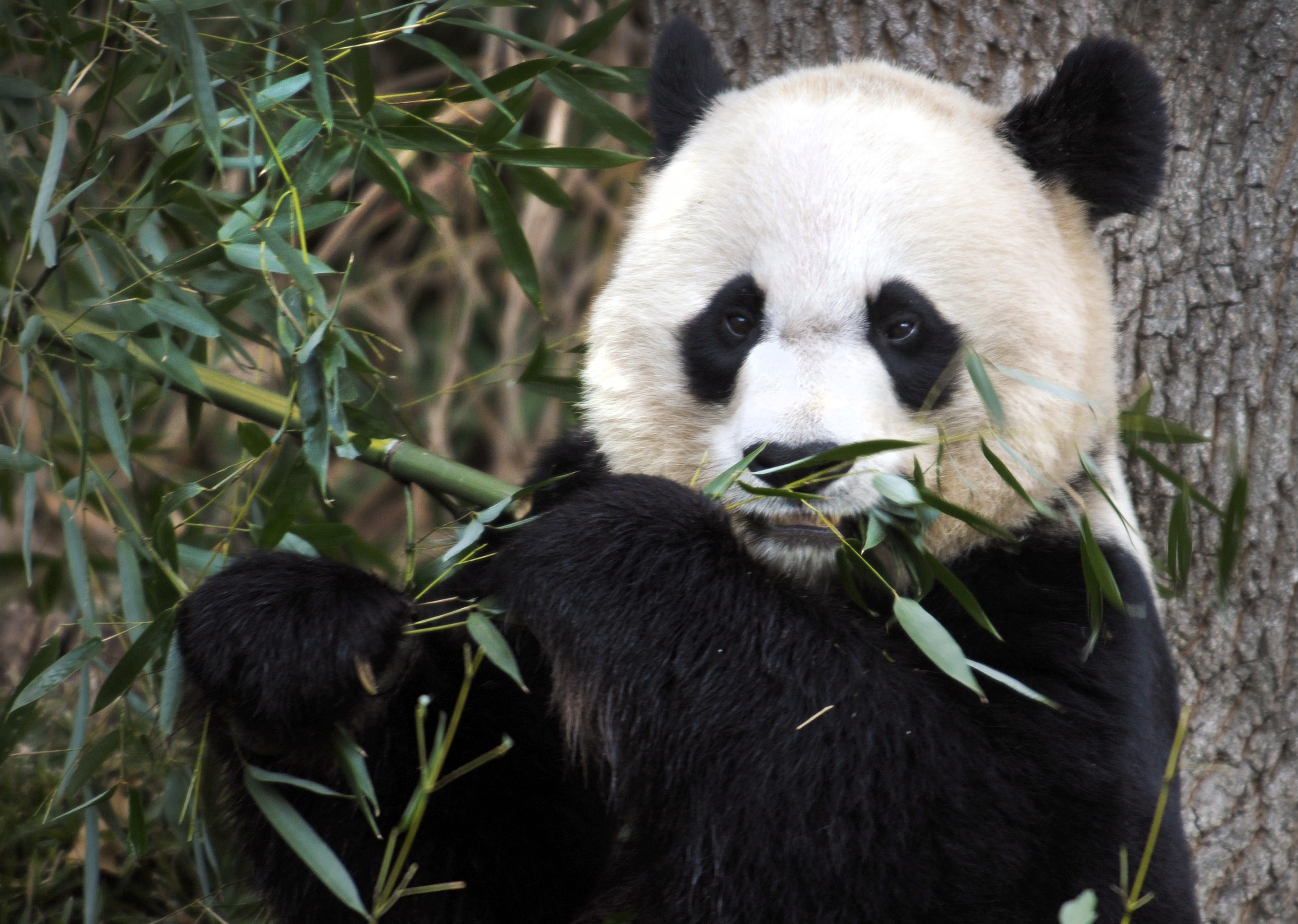 Turn up the heat: National Zoo's giant panda Mei Xiang ready to breed