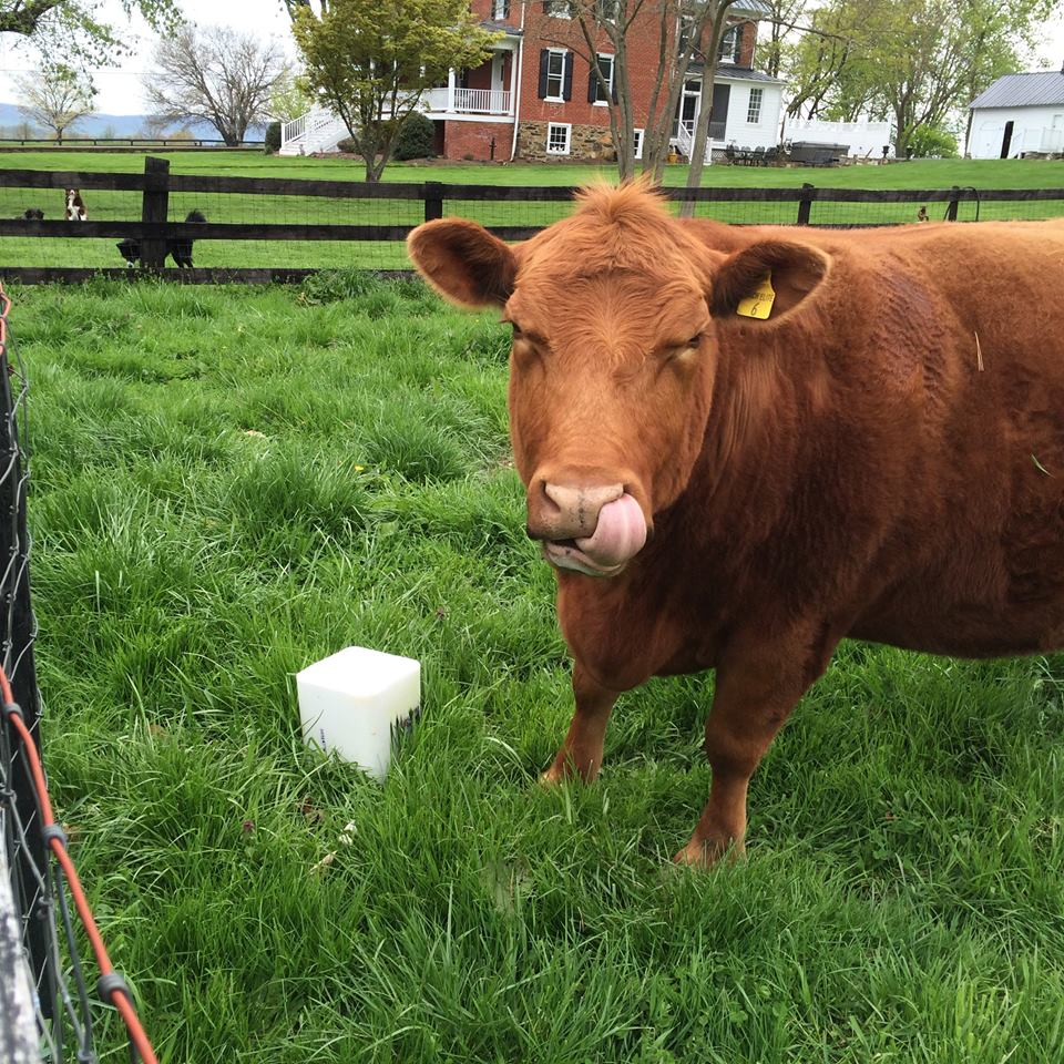 Cows stolen from Loudoun County farm