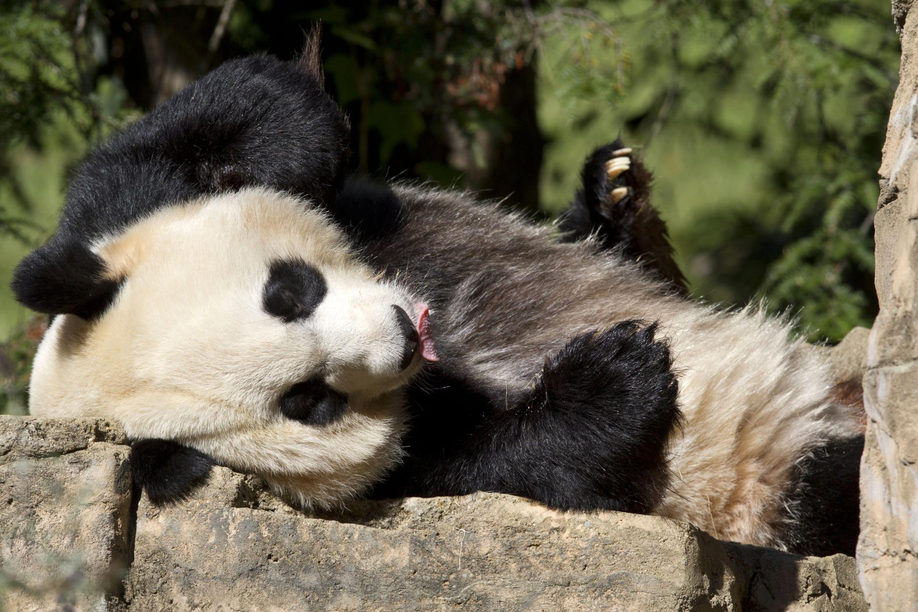 Pregnant panda? National Zoo detects possible fetus