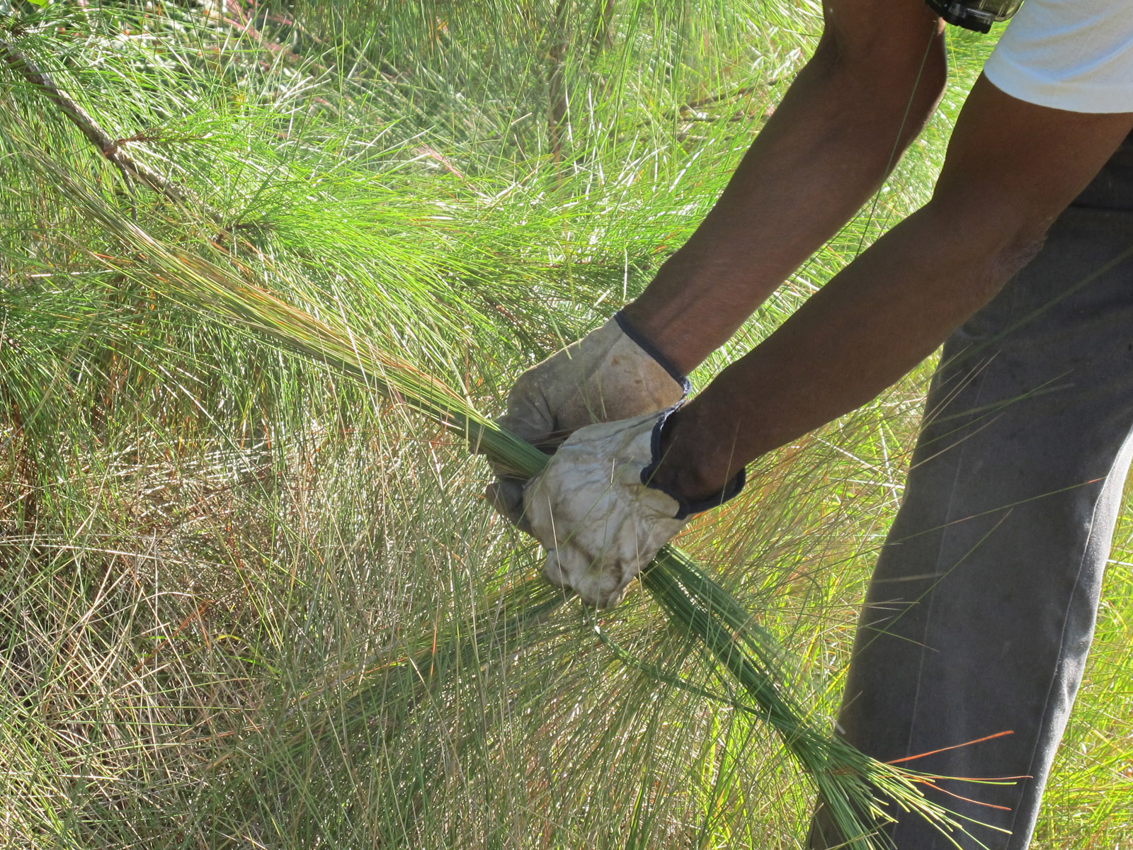 Study: Ornamental grass could offer protection from mosquito bites