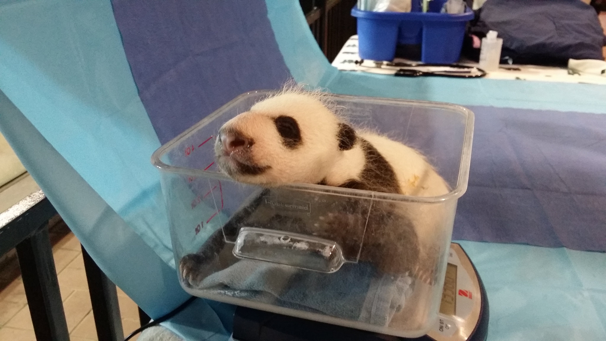 Baby panda gets name early