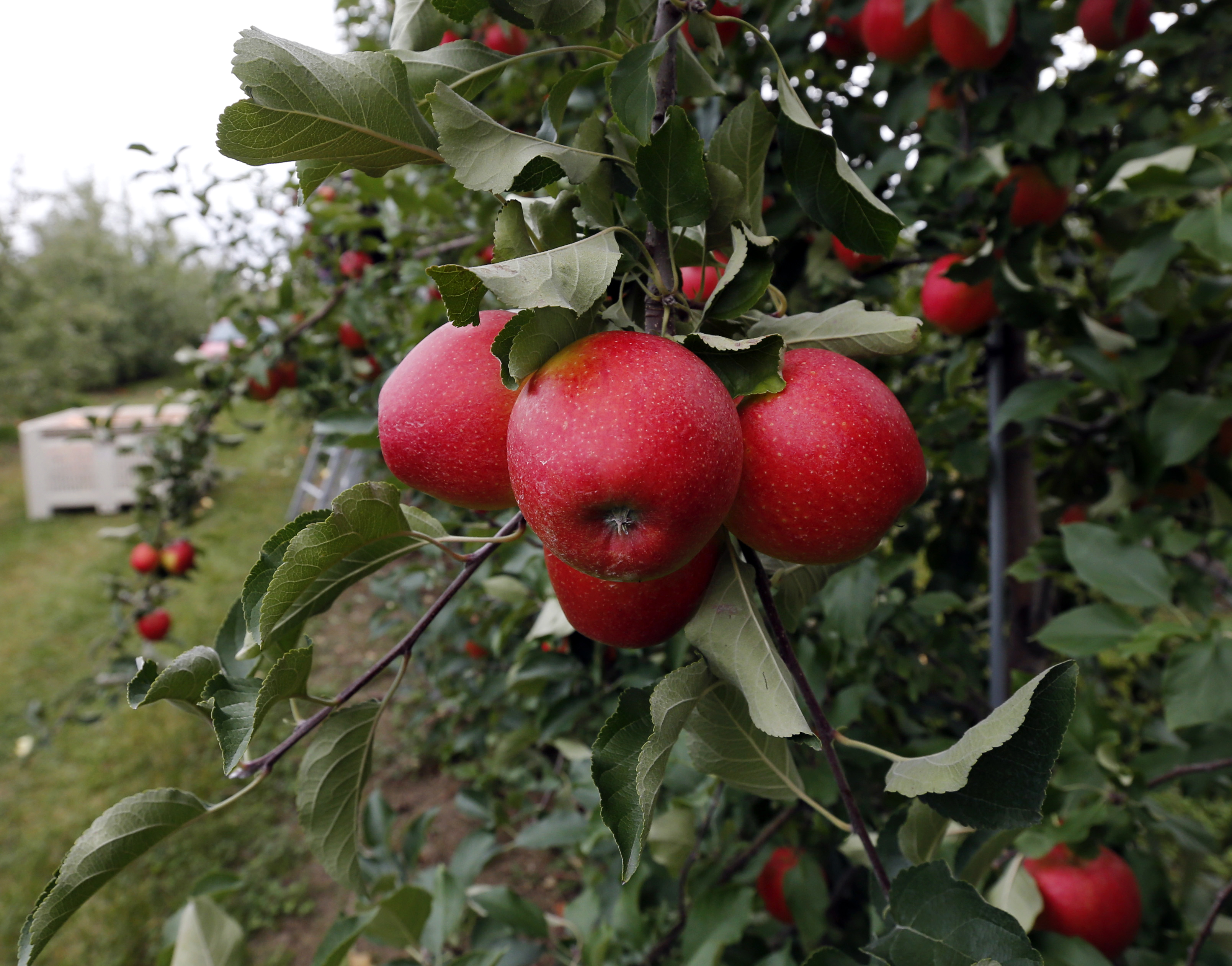 Chomp into apple season with festivals, dinners, orchards, cider