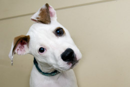 This 11-week-old pit bull terrier mix is almost too cute for words. He's also friendly, affectionate and incredibly sweet. (Courtesy WARL)