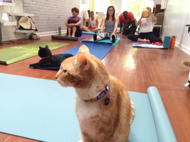 Purrfecting Your Down Dog At Cat Yoga Wtop
