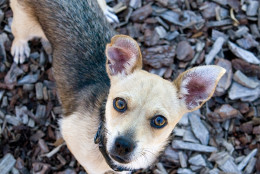 Welch is available for adoption  from the Washington Animal Rescue League. (Courtesy WARL)
