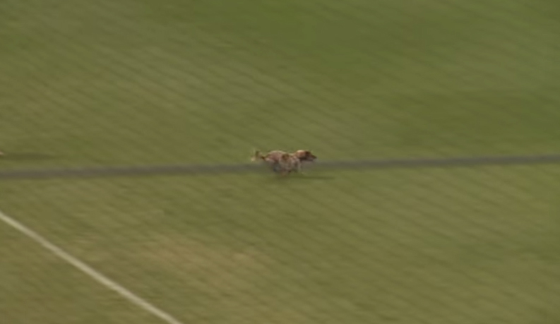 Little dog steals the show at Weiner Dog race (Video)