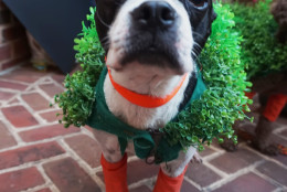 Klonney the Boston Terrier takes a break from her Chia Pet trio to mug for the camera. (Shannon Finney Photography)